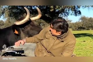 Otec roka? Odvážny býk vystrašil muža, aby zachránil teliatko
