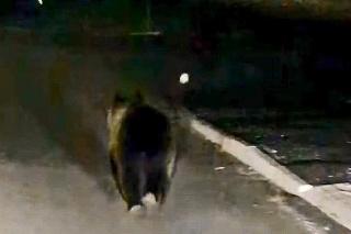 NEBÁL SA: Medveď si vykračoval ako na prechádzke.