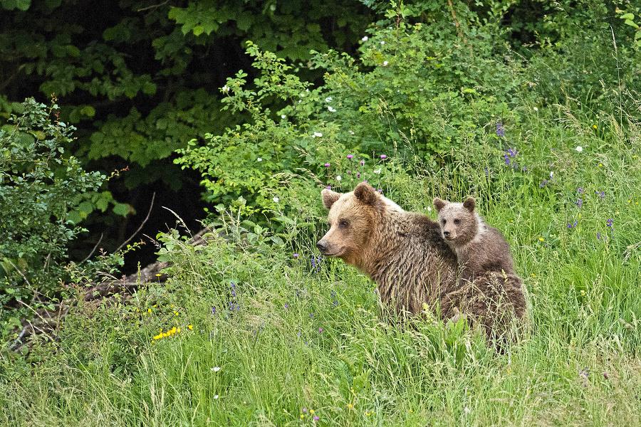 Medveď hnedý: Z väčšiny