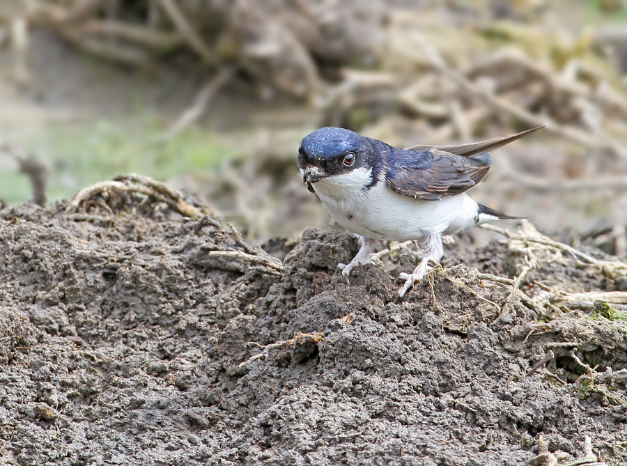 The common house martin