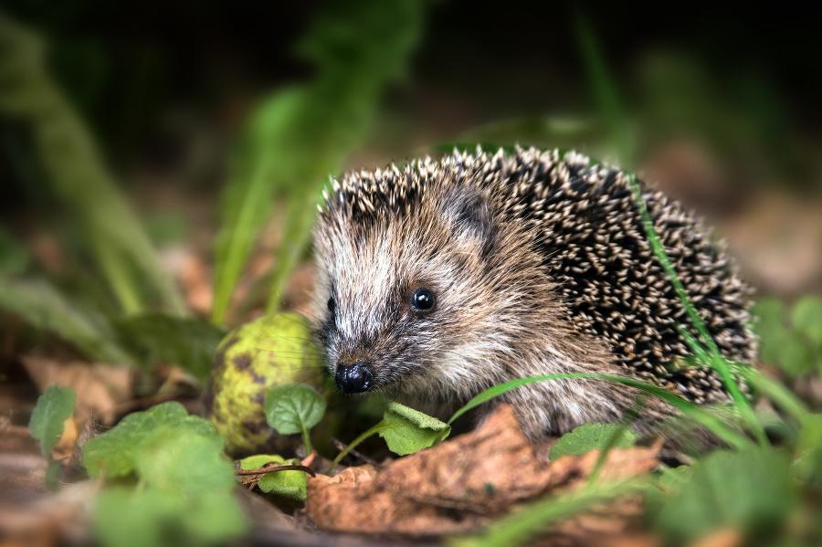 little young hedgehog (Erinaceus