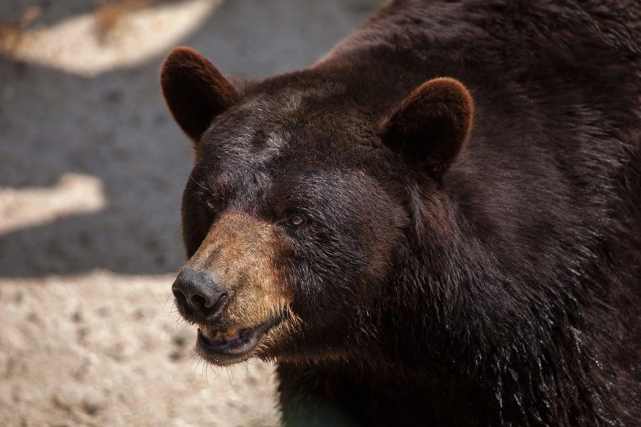 American black bear (Ursus