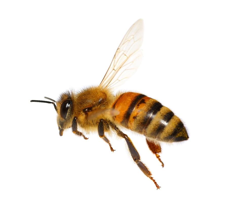 Včely pracujú na zemi
