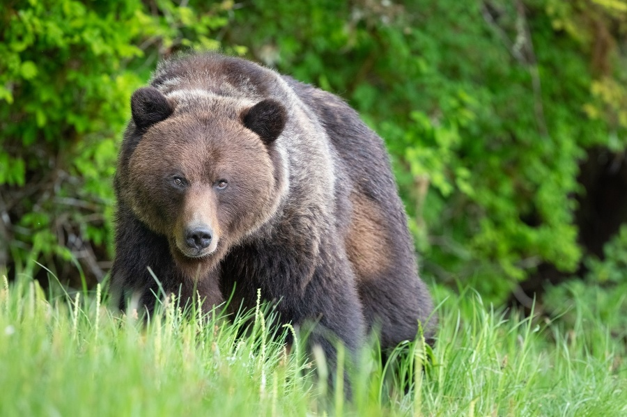 Brown Bear, Ursus arctos,