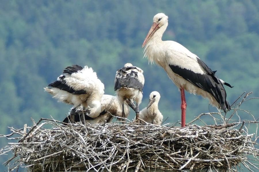 Rodina bociana bieleho počas