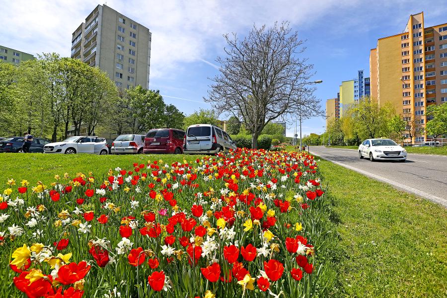 V Karlovej Vsi kvitnú desaťtisíce tulipánov.