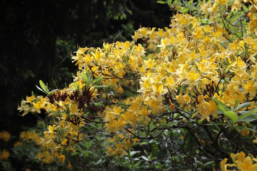 Rododendróny v Arboréte Borová