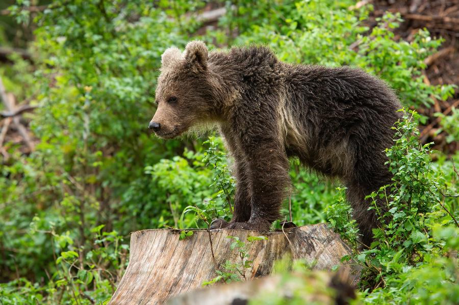 Mesto upozorňuje na medvedicu
