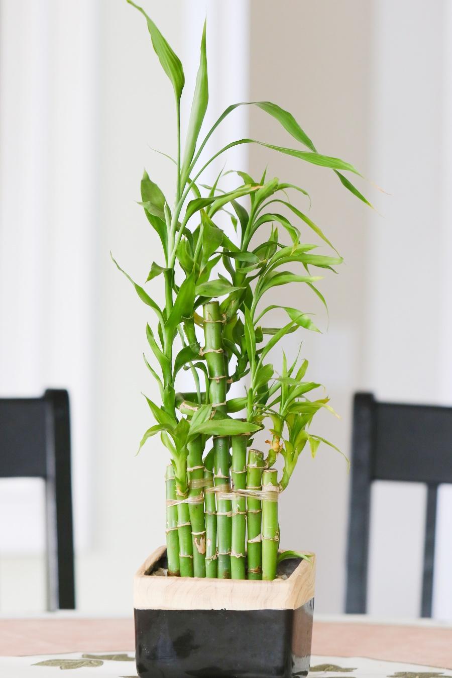 Bambus pre radosť: Vo váze či črepníku vám vydrží celé roky