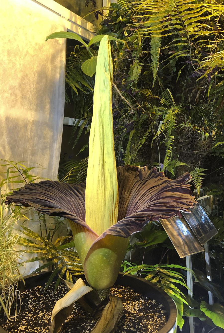Rozkvinutý zmijovec áronitý (Amorphophallus titanum) - najsmrdlavejšia rastlina sveta 13. júna 2021 v botanickej záhrade vo Varšave.