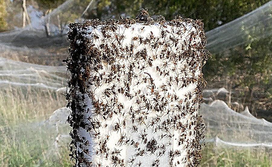 Milióny pavúkov sa snažili ujsť pred vodou.
