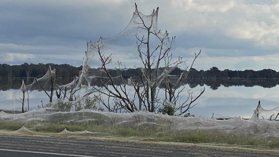 Pavučinou potiahli aj okolité stromy.