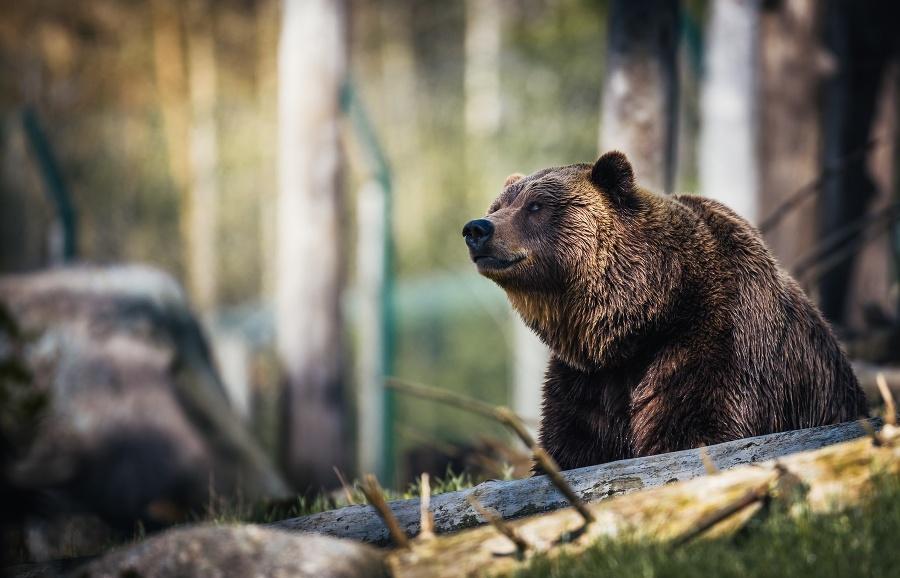 Medveď v Kežmarku ohrozil
