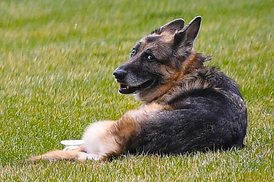 Bidenov nemecky ovčiak sa dožil 13 rokov.