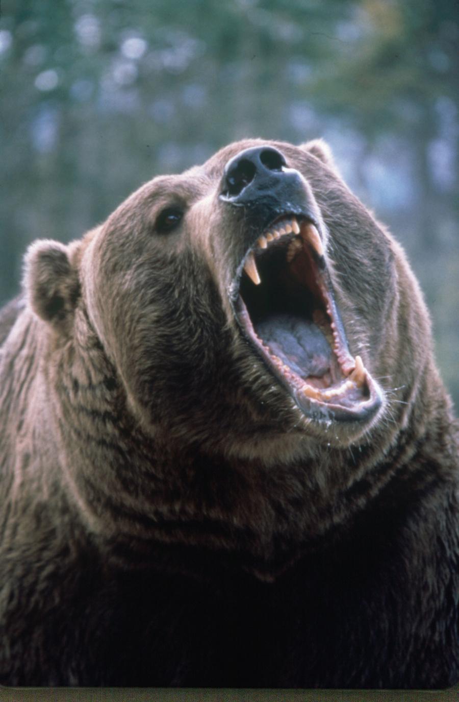 Polícia v Montane pátra po medveďovi