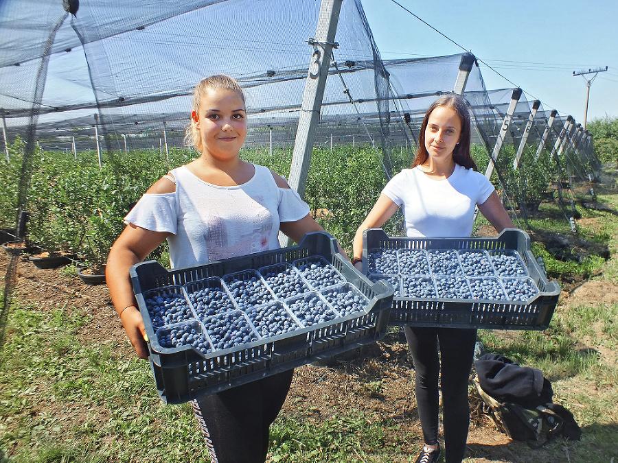 Brigádničky Vivien (19) a vpravo Cyntia (19) zbierajú chutné a zdravé čučoriedky.