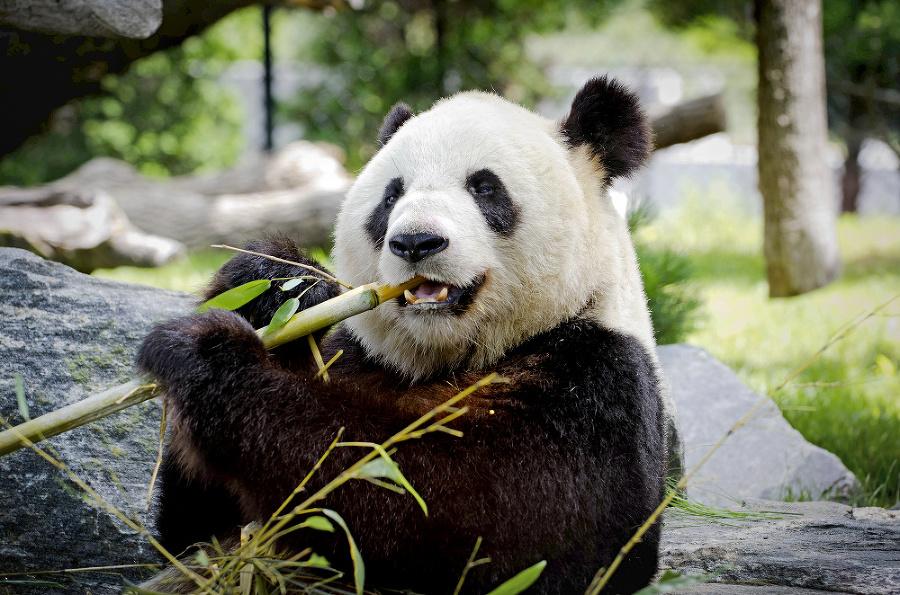 Čierno-bieli medveď: Biela srsť