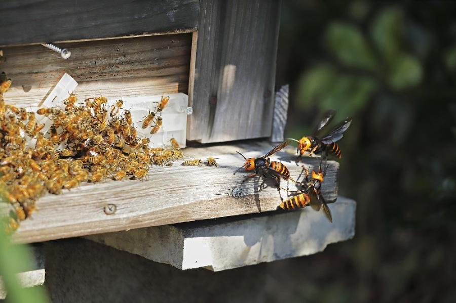 Postrach pre včely: Ázijské sršne útočia na medonosné včely veľmi agresívne.