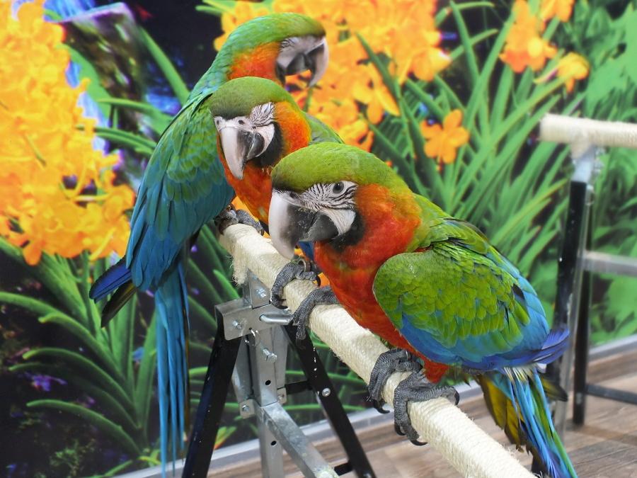 V Arakove sa nachádza vyše 10 veľkých papagájov rôznych druhov.