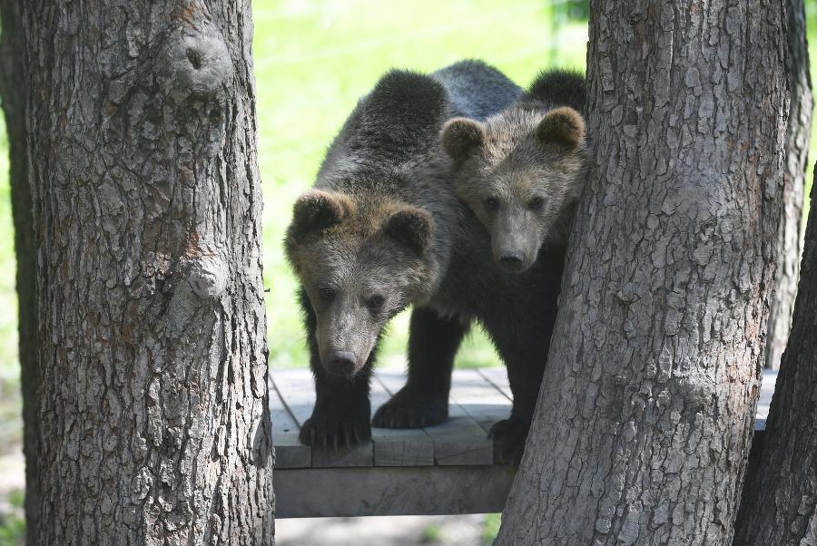 Na snímke medvede hnedé