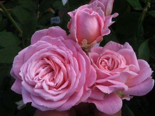 Ruže grófky Márie Henriety.