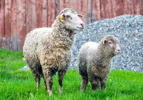 Ovce miznú priamo zo