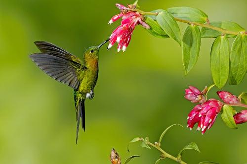 Kolibríky
