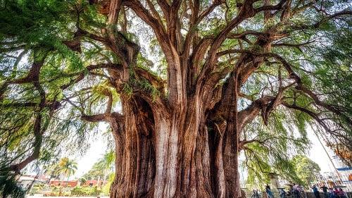 Tulský strom, tisovec mexický.