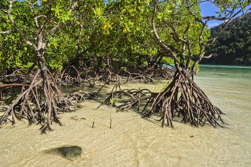 Kráčajúci strom: Mangrovníky dokážu