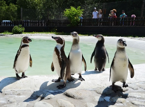 Tučniak jednopásy