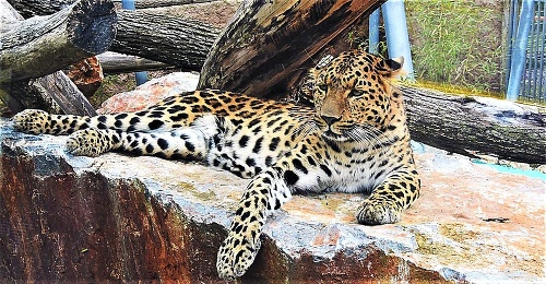 Leopard čínsky