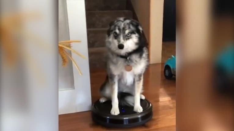 Užitočná zábava: Ak by aj váš pes robil toto doma každý deň, nedali by ste ho za nič na svete