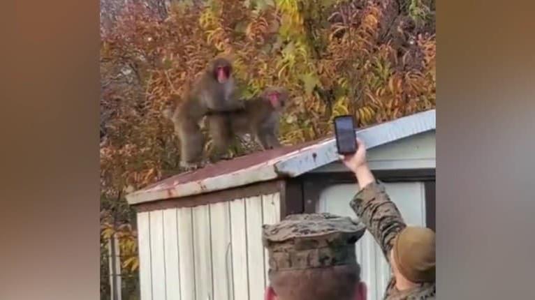 Vojak si chcel odfotiť páriace sa opice: S takouto reakciou rozhnevaného samca však nerátal