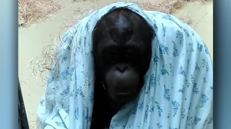 Smútok ich rýchlo prešiel: Po odchode nezbedného syna sa rodičia orangutana Kirana zašili pod perinu
