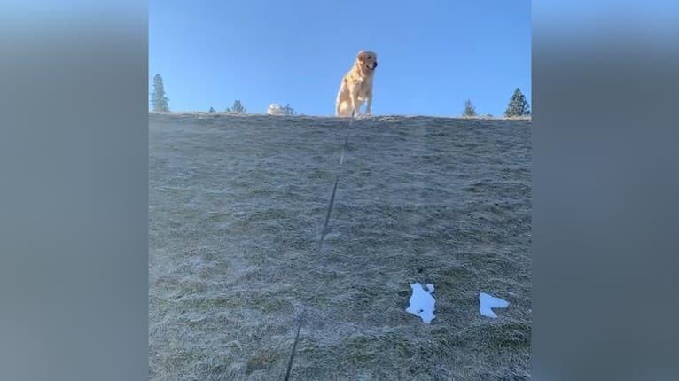 Najpohodlnejší pes sveta? Puknete od smiechu z toho, ako zlatý retriever schádza z kopca