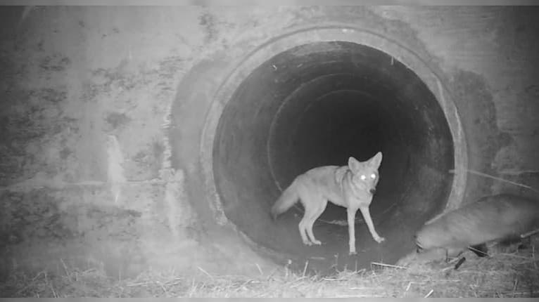 Kamarátstvo ako z rozprávky: Kojot a jazvec sú na ceste za spoločnými dobrodružstvami