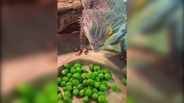 Ťažké rozhodovanie: Jašterica zbožňuje hrášok, ale ktorú guličku zjesť ako prvú?
