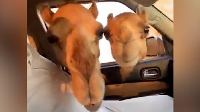 Muž kŕmil ťavy cez okno v aute: Sledujte jeho spolusediaceho, nezdržíte sa smiechu