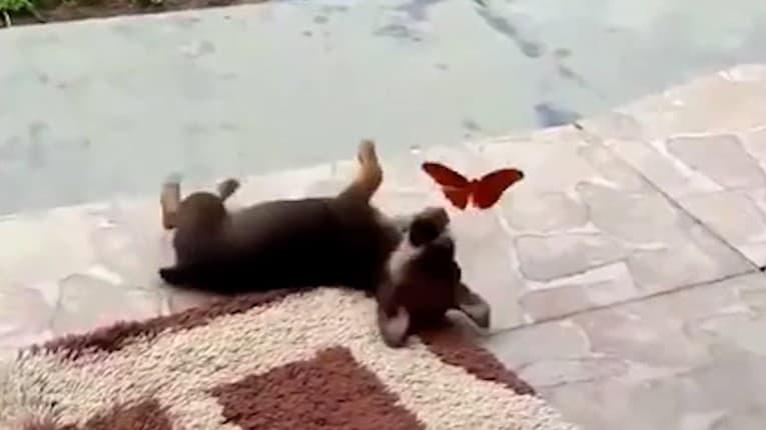 Video, ktoré vám v sekunde zlepší náladu: Šteniatko hrajúce sa s motýľom pohladí srdce každému