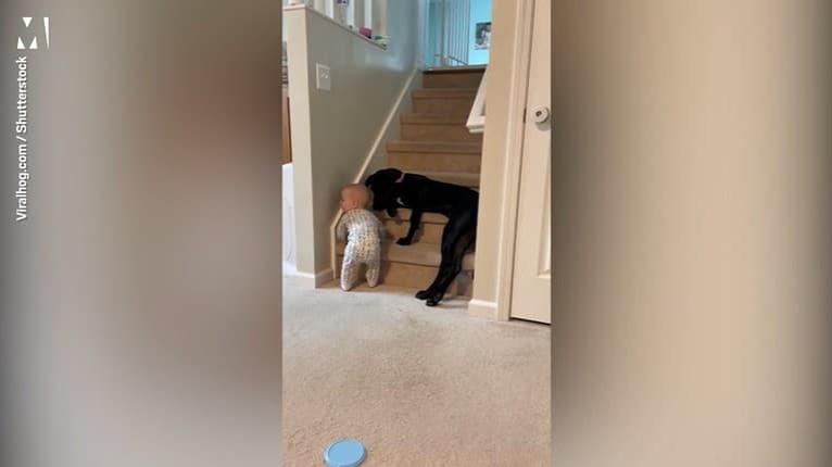 Starostlivosť oddaného psa vás dojme: Aha, ako zabránil batoľaťu loziť po nebezpečných schodoch