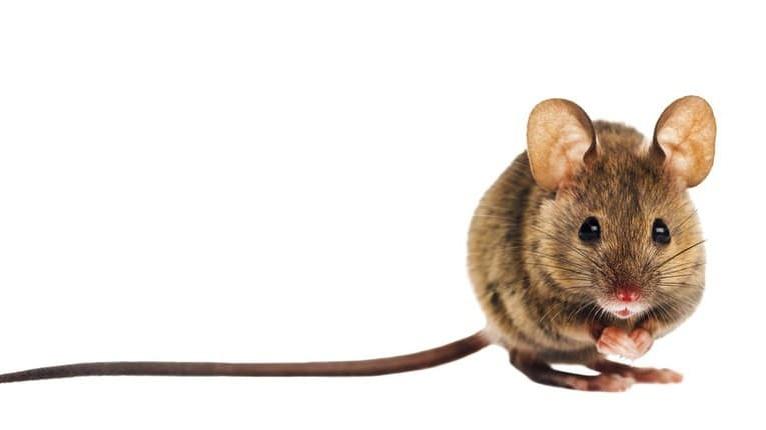 Ako sa zbaviť myší rýchlo, lacno a jednoducho? Toto by vám ani vo sne nenapadlo!