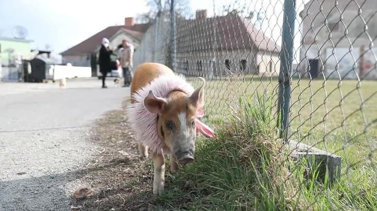 Keď sa Veronika vyberie venčiť domácich miláčikov, všetci sa za nimi otáčajú: Psiu svorku vedie prasiatko Izabelka!