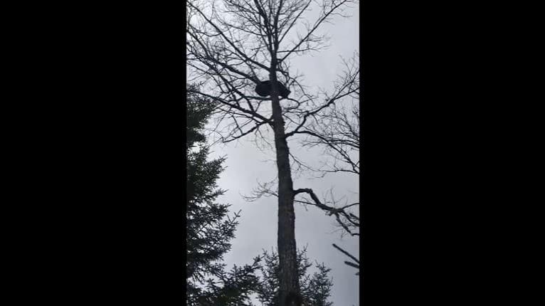 Medveď sa od strachu skoro pototo, vyliezol na strom a hádam nie: Toto turistu nepotešilo!