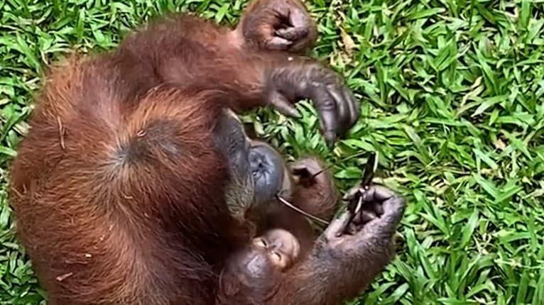 Lola stratila v Zoo okuliare: Jej doplnok sa stal vďaka orangutanovi zábavnou atrakciou pre návštevníkov