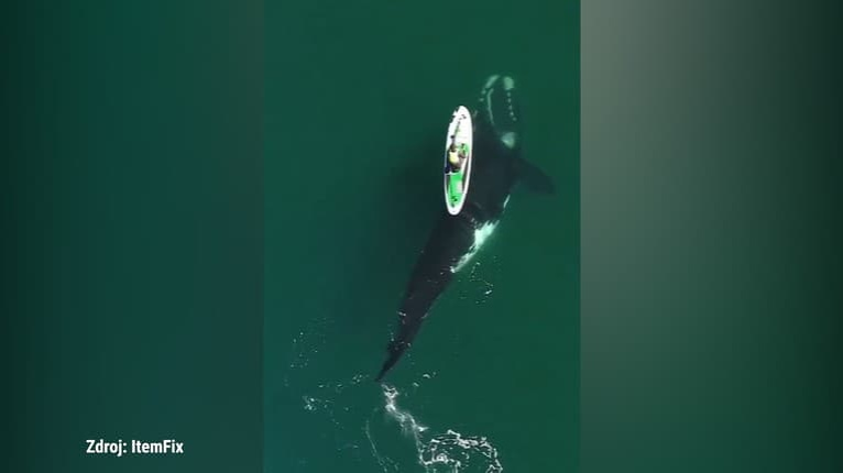 Chcela sa hrať? Pozrite, čo spravila veľryba s paddleboardom: Žena až nedýchala